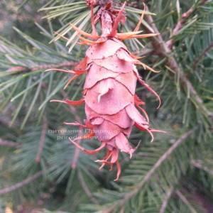 Псевдотсуга (Psevdotsuga) ФОТО Питомник растений Природа / Priroda (3)