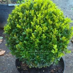 Самшит вечнозелёный Шар (Buxus sempervirens Boll) ФОТО Питомник растений Природа Priroda (10)