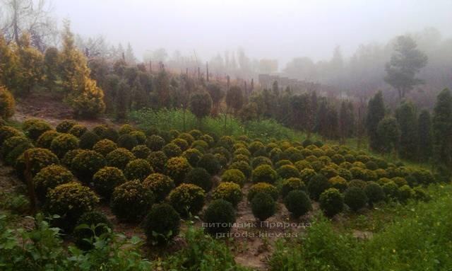 Самшит вечнозелёный Шар (Buxus sempervirens Boll) ФОТО Питомник растений Природа Priroda (11)