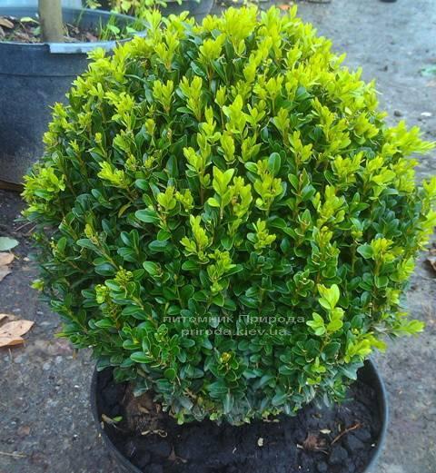 Самшит вечнозелёный Шар (Buxus sempervirens Boll) ФОТО Питомник растений Природа Priroda (8)