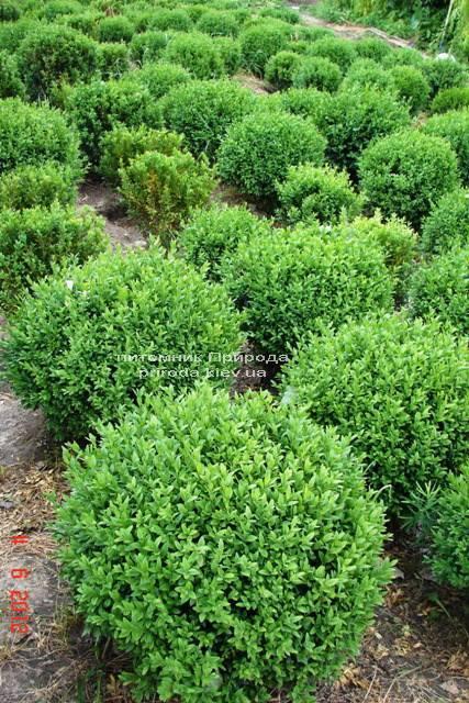 Самшит вечнозелёный Шар (Buxus sempervirens Boll) ФОТО Питомник растений Природа Priroda (5)