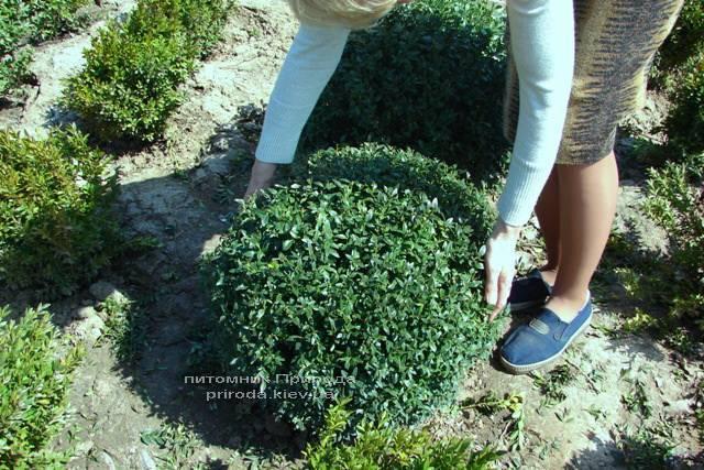 Самшит вечнозелёный Шар (Buxus sempervirens Boll) ФОТО Питомник растений Природа Priroda (3)