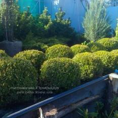 Самшит вечнозелёный Шар (Buxus sempervirens Boll) ФОТО Питомник растений Природа Priroda (1)