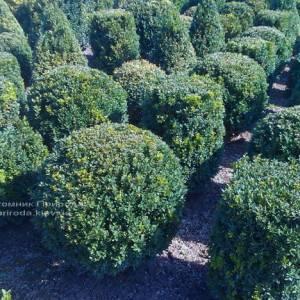 Самшит вечнозелёный Шар (Buxus sempervirens Boll) ФОТО Питомник растений Природа Priroda (13)