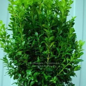 Самшит вечнозелёный (Buxus sempervirens ) ФОТО Питомник растений Природа Priroda (6)
