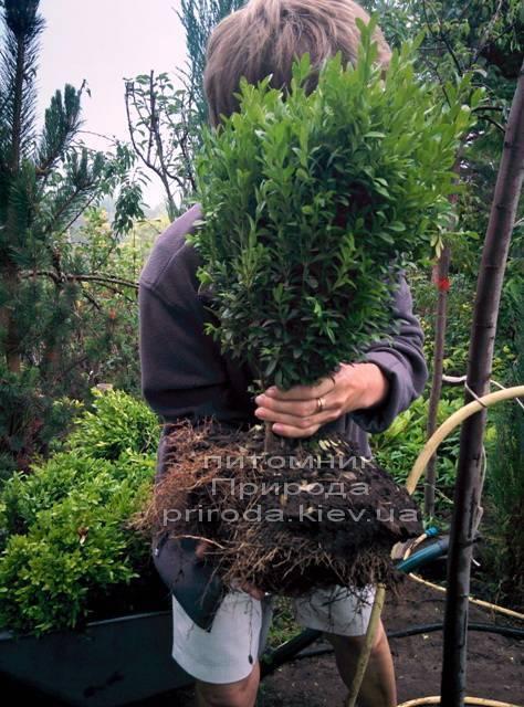 Самшит вечнозелёный (Buxus sempervirens ) ФОТО Питомник растений Природа Priroda (5)