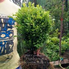 Самшит вечнозелёный (Buxus sempervirens ) ФОТО Питомник растений Природа Priroda