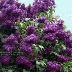 Сирень обыкновенная Индия (Syringa vulgaris Indiya ) ФОТО Питомник растений Природа Priroda (5)