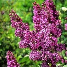 Сирень обыкновенная Карл 10 (Syringa vulgaris Karl 10 ) ФОТО Питомник растений Природа Priroda