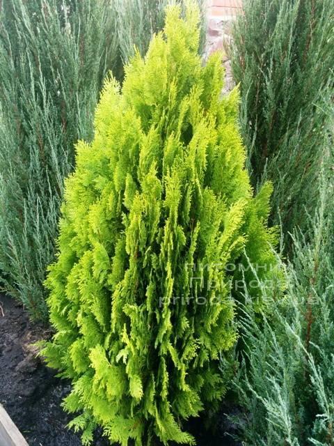 Туя восточная Ауреа Нана (Thuja orientalis Aurea Nana) ФОТО Питомник растений Природа Priroda