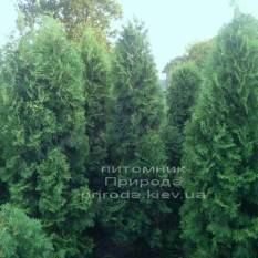 Туя западная колоновидная Колумна (Thuja occidentalis Columna) 180-260см РАСПРОДАЖА фото Питомник растений Природа Priroda