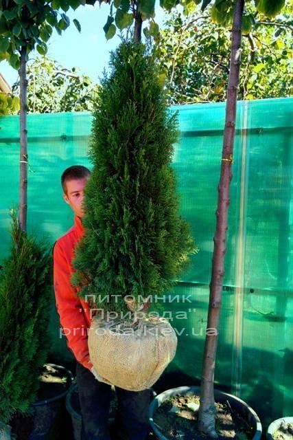 Туя западная Смарагд (Thuja occidentalis Smaragd) ФОТО Питомник растений Природа Priroda (24)