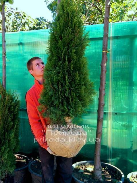 Туя западная Смарагд (Thuja occidentalis Smaragd) ФОТО Питомник растений Природа Priroda (25)