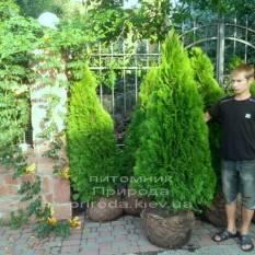 Туя западная Смарагд (Thuja occidentalis Smaragd) ФОТО Питомник растений Природа Priroda (32)