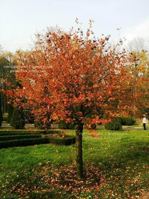 Арония / Рябина черноплодная шаровидная на штамбе (Aronia melanocarpa) ФОТО Питомник растений Природа Priroda (3)