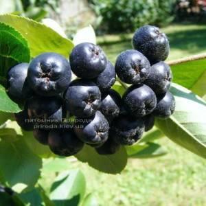 Арония / Рябина черноплодная шаровидная на штамбе (Aronia melanocarpa) ФОТО Питомник растений Природа Priroda (4)