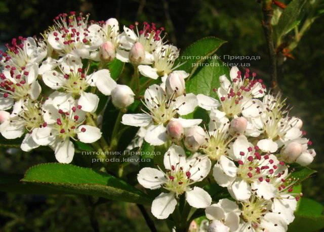 Арония / Рябина черноплодная шаровидная на штамбе (Aronia melanocarpa) ФОТО Питомник растений Природа Priroda (6)