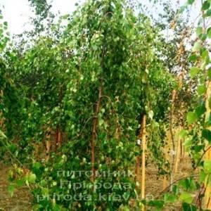 Берёза бородавчатая повислая/плакучая Юнге/Юнги (Betula pendula Youngii) ФОТО Питомник растений Природа Priroda (1)
