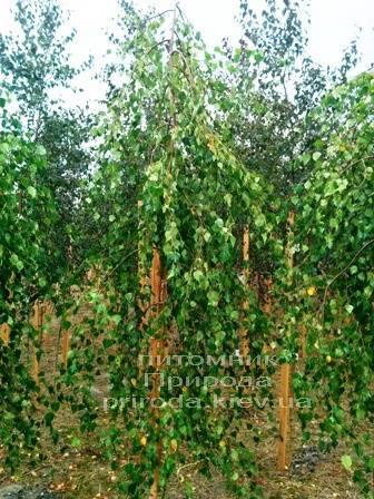 Берёза бородавчатая повислая/плакучая Юнге/Юнги (Betula pendula Youngii) ФОТО Питомник растений Природа Priroda (2)