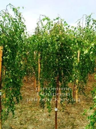 Берёза бородавчатая повислая/плакучая Юнге/Юнги (Betula pendula Youngii) ФОТО Питомник растений Природа Priroda (3)