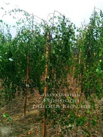 Берёза бородавчатая повислая/плакучая Юнге/Юнги (Betula pendula Youngii) ФОТО Питомник растений Природа Priroda (4)