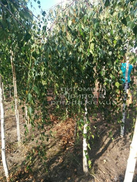 Берёза бородавчатая повислая/плакучая Юнге/Юнги (Betula pendula Youngii) ФОТО Питомник растений Природа Priroda (5)