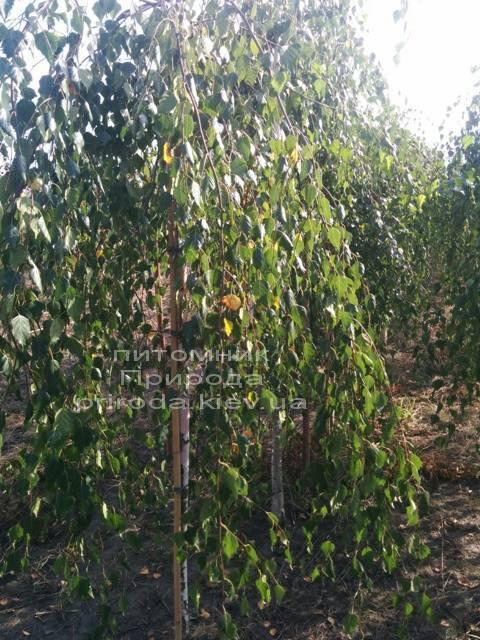 Берёза бородавчатая повислая/плакучая Юнге/Юнги (Betula pendula Youngii) ФОТО Питомник растений Природа Priroda (6)