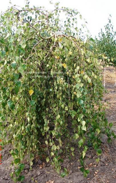 Берёза бородавчатая повислая/плакучая Юнге/Юнги (Betula pendula Youngii) ФОТО Питомник растений Природа Priroda
