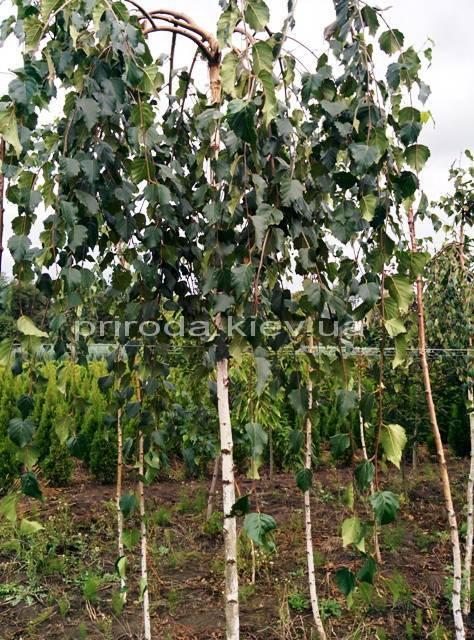 Берёза бородавчатая повислая/плакучая Юнге/Юнги (Betula pendula Youngii) ФОТО Питомник растений Природа Priroda (9)
