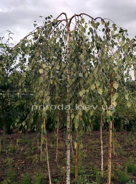 Берёза бородавчатая повислая/плакучая Юнге/Юнги (Betula pendula Youngii) ФОТО Питомник растений Природа Priroda (10)
