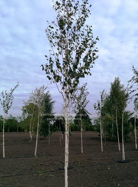 Берёза полезная (Betula utilis) ФОТО Питомник растений Природа Priroda (13)