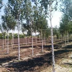 Берёза полезная (Betula utilis) ФОТО Питомник растений Природа Priroda (15)