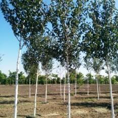Берёза полезная (Betula utilis) ФОТО Питомник растений Природа Priroda