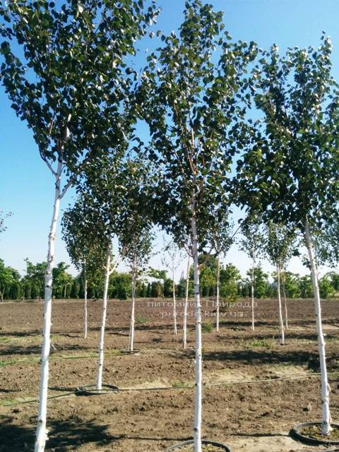 Береза корисна (Betula utilis) ФОТО Розплідник рослин Природа Priroda (16)