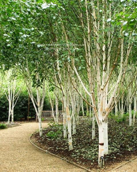 Береза корисна (Betula utilis) ФОТО Розплідник рослин Природа Priroda (17)