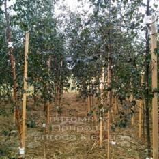 Берёза повислая Пурпуреа (Betula pendula Purpurea) ФОТО Питомник растений Природа Priroda