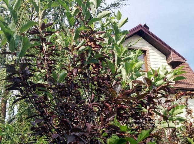 Черемуха виргинская Шуберт (Prunus virginiana Shubert) ФОТО Питомник растений Природа Priroda (6)