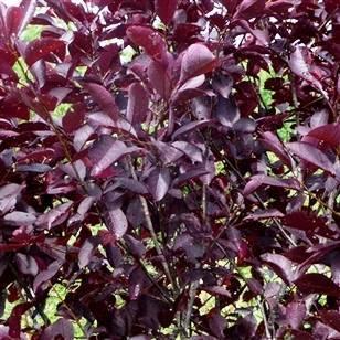 Черемуха виргинская Шуберт (Prunus virginiana Shubert) ФОТО Питомник декоративных растений Природа Priroda (1)