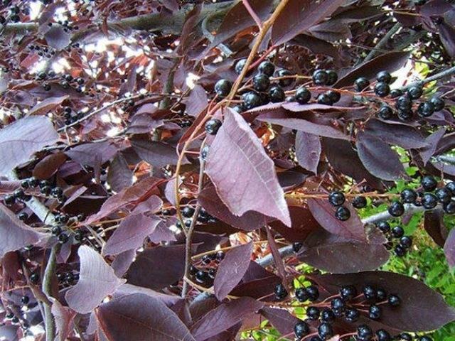 Черемуха виргинская Шуберт (Prunus virginiana Shubert) ФОТО Питомник растений Природа (3)