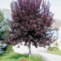 Черемуха виргинская Шуберт (Prunus virginiana Shubert) ФОТО Питомник декоративных растений Природа