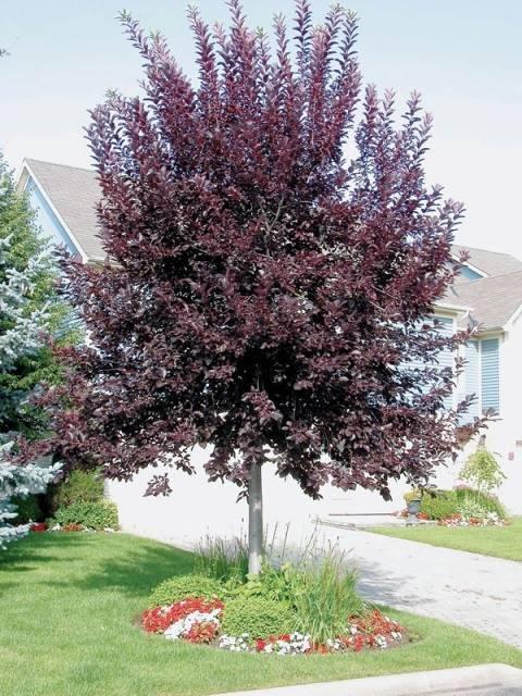 Черемуха виргинская Шуберт (Prunus virginiana Shubert) ФОТО Питомник декоративных растений Природа (4)