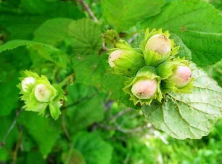 Фундук крупноплодный ФОТО Питомник растений Природа Priroda