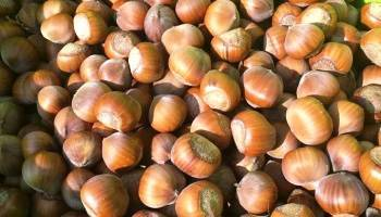 Фундук крупноплодный ФОТО Питомник растений Природа Priroda (3)