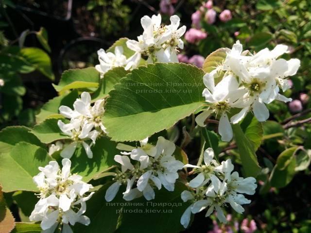Ирга (Amelanchier) ФОТО Питомник растений Природа Priroda (1)