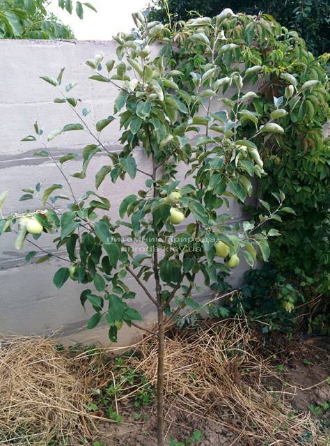 Яблоня Белый Налив летний сорт ФОТО Питомник растений Природа Priroda (40)