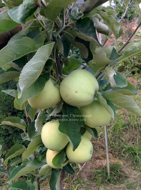 Яблоня Белый Налив летний сорт ФОТО Питомник растений Природа Priroda (43)