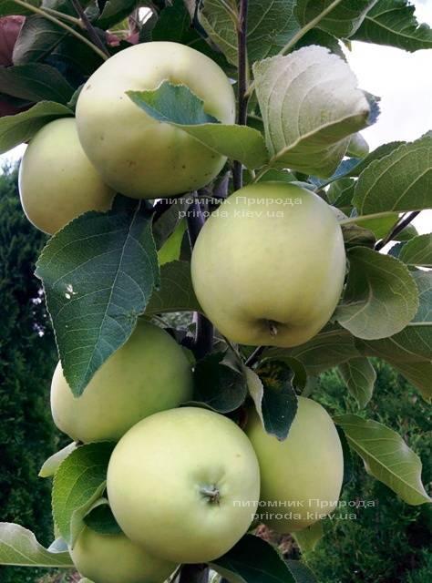 Яблоня Белый Налив летний сорт ФОТО Питомник растений Природа Priroda (44)
