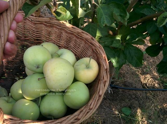 Яблоня Белый Налив летний сорт ФОТО Питомник растений Природа Priroda