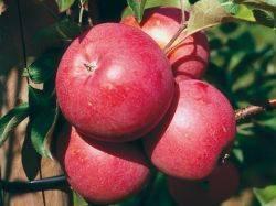 Яблоня Бэни Шогун осенне - зимний сорт ФОТО Питомник растений Природа Priroda