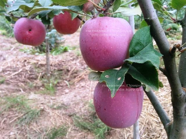 Яблоня Флорина зимний сорт ФОТО Питомник растений Природа Priroda